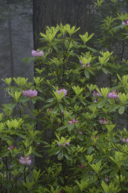USA, California. Blooming Rhododendron (Rhododendron macrophyllum) and redwoods in the mist