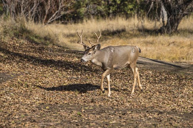 USA, California, Yosemite National Park. Buck mule deer (Odocoileus hemionus) in Fall
