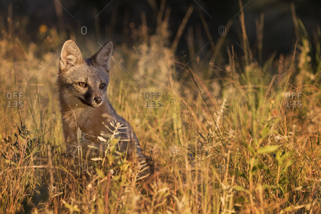 USA, Colorado, Pike National Forest. Gray fox in grass at sunset.