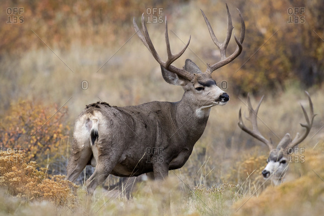 USA, Colorado, Rocky Mountain National Park. Mule deer bucks in grass and sedge.