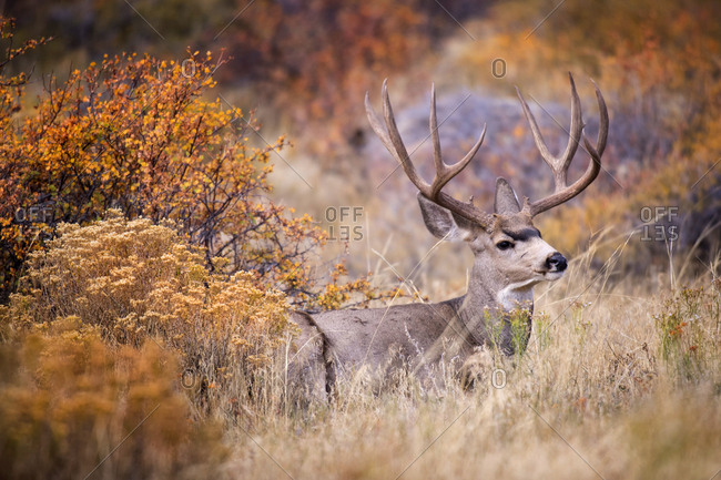 USA, Colorado, Rocky Mountain National Park. Mule deer buck in grass and sedge.