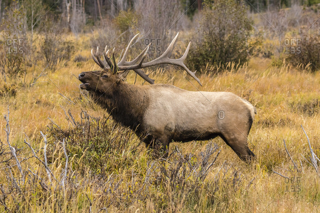 USA, Colorado, Rocky Mountain National Park. Bull elk bugling.