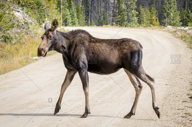 USA, Colorado. Female moose on road.
