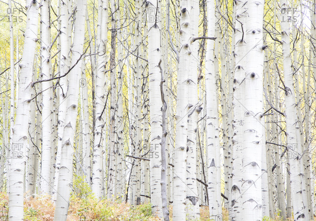 USA, Colorado, Crested Butte. Aspen Trunks