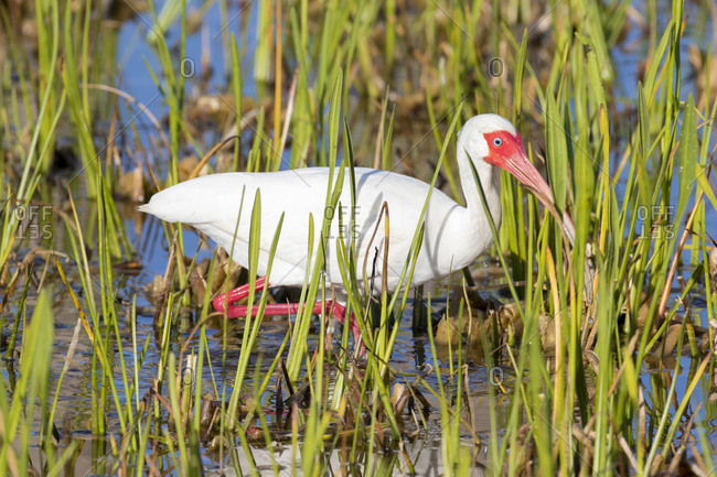 White Ibis (Eudocimus albus) Viera Wetlands, Brevard County, Florida