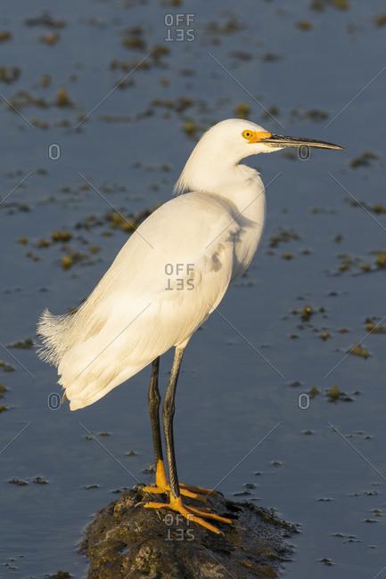 Snowy Egret (Egretta thula) Viera Wetlands, Brevard County, Florida