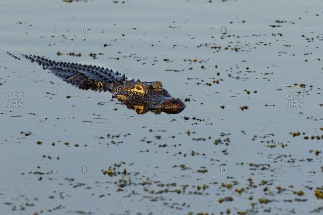 American Alligator (Alligator mississippiensis) Viera Wetlands, Brevard County, Florida