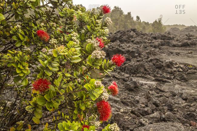 USA, Hawaii, Hawaii Volcanoes National Park. Ohia blossom and lava rock.