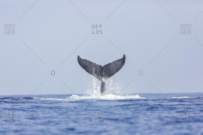 Humpback Whales (Megaptera novaeangliae) on Kohala Coast, Big Island, Hawaii, USA