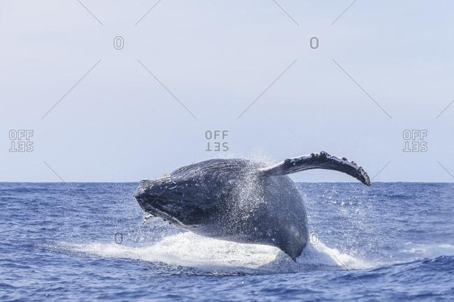 Humpback Whales (Megaptera novaeangliae), near Kona, Big Island, Hawaii