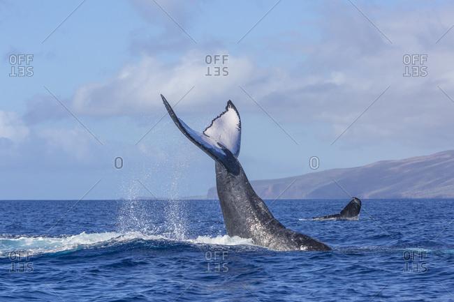 Humpback Whales (Megaptera novaeangliae) near Lanai Island, Hawaii, USA