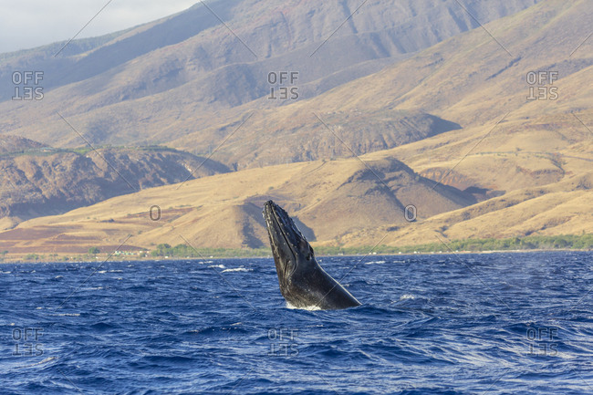 Humpback Whale (Megaptera novaeangliae) whale watching off Maui, Hawaii, USA