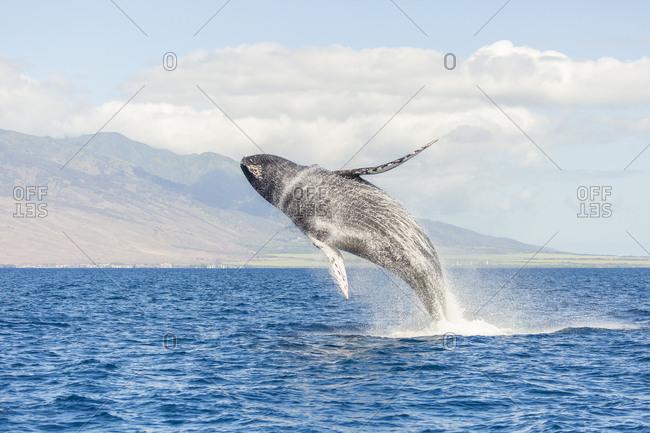 Humpback Whale (Megaptera novaeangliae) whale watching off Maui, Hawaii, USA