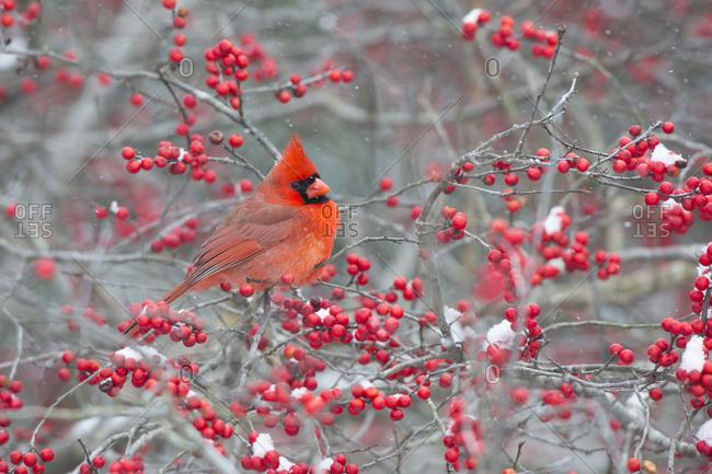 Northern Cardinal (Cardinalis cardinalis) male in Winterberry bush (Ilex verticillata), Marion County, Illinois