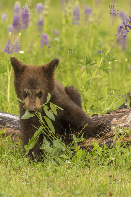 USA, Minnesota, Minnesota Wildlife Connection. Captive black bear cub eating plant.
