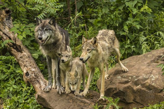 USA, Minnesota, Minnesota Wildlife Connection. Captive gray wolf adults and pups.
