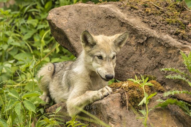 USA, Minnesota, Minnesota Wildlife Connection. Captive gray wolf pup.