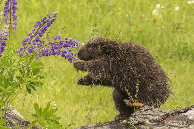 USA, Minnesota, Minnesota Wildlife Connection. Captive porcupine eating lupine flowers.