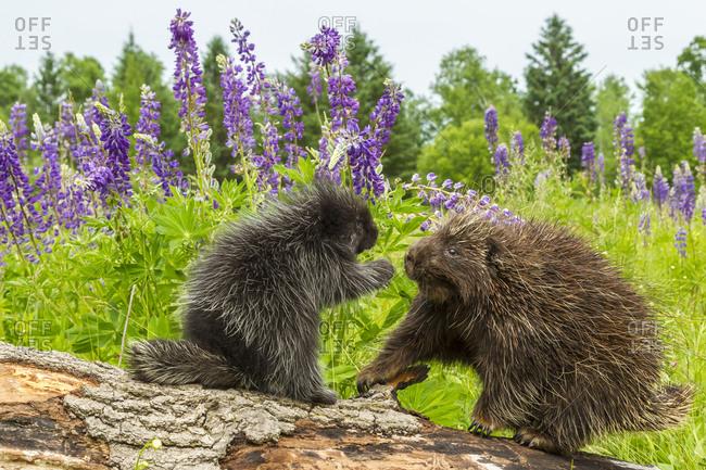 USA, Minnesota, Minnesota Wildlife Connection. Captive porcupine adult and young on log.
