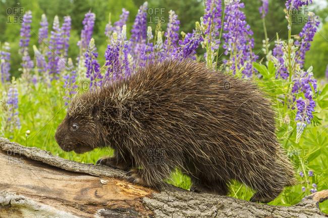USA, Minnesota, Minnesota Wildlife Connection. Captive adult porcupine on log.