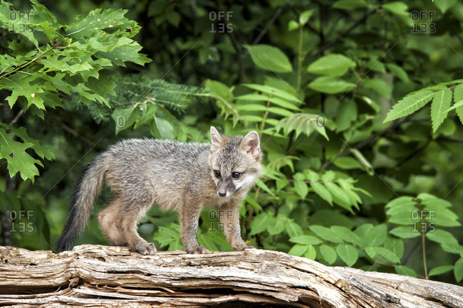 USA, Minnesota Wildlife Connection, Sandborn, Minnesota. A grey fox kit stands on a fallen tree.