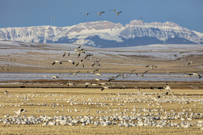 Snow geese feeding in barley field stubble near Freezeout Lake Wildlife Management Area near Choteau, Montana, USA