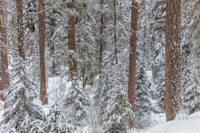Pine forest after snowfall in the Stillwater State Forest near Whitefish, Montana, USA