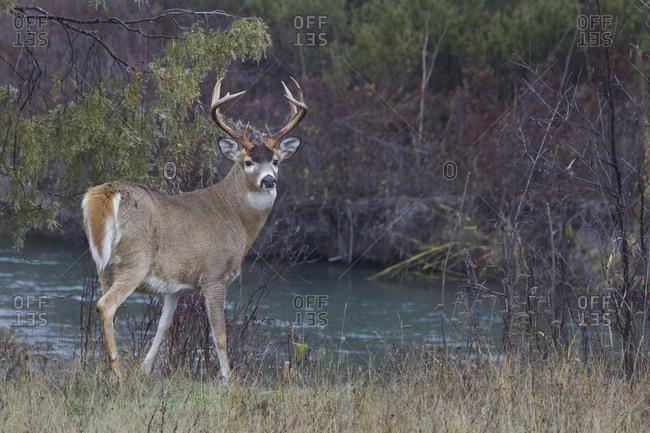 White-tail deer buck