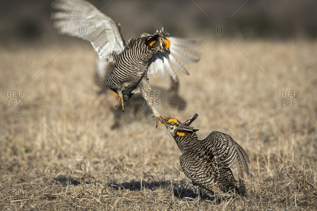 USA, Big Blue Ranch, Burchard, Nebraska. Prairie chickens fighting on the lek.