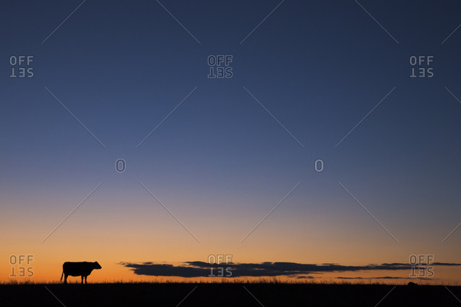 USA, Burchard, Nebraska. Cow at sunset.