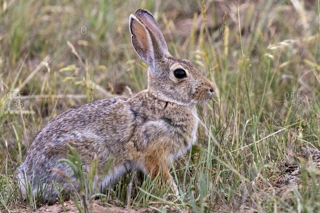 Eastern cottontail rabbit in Theodore Roosevelt National Park, North Dakota, USA