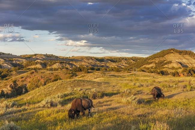 Bison grazing in badlands in Theodore Roosevelt National Park, North Dakota, USA
