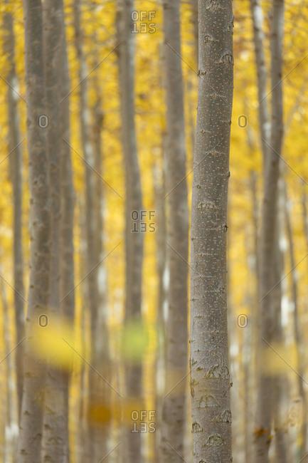 USA, Oregon, Morrow County. Poplar Trees at the Boardman Tree Farm.