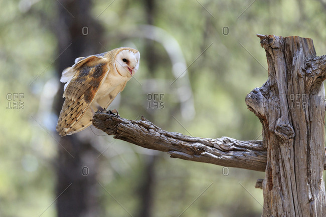 USA, Oregon, Bend. Captive barn owl (Tyto alba).