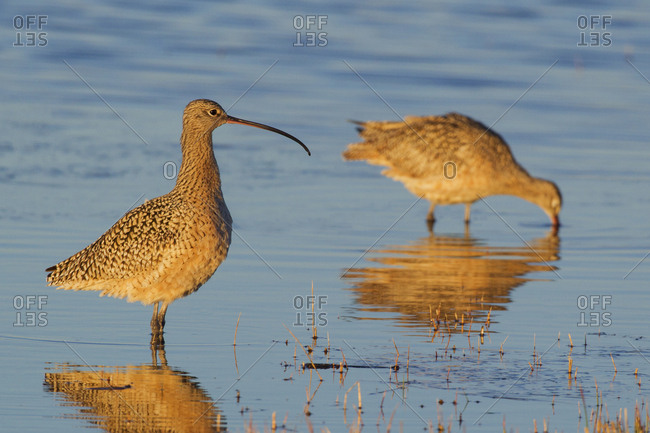 Long-billed Curlew pair foraging