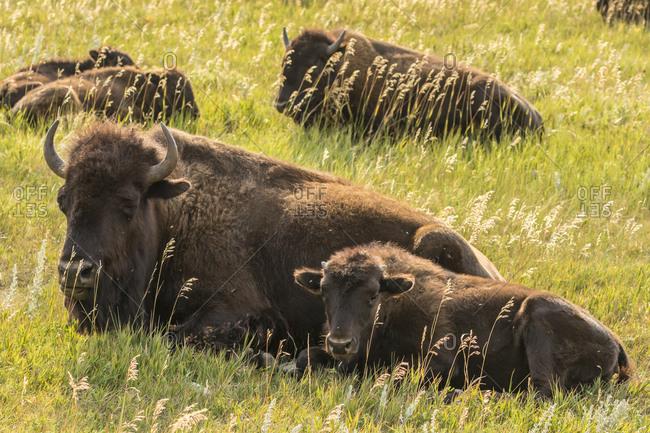 USA, South Dakota, Custer State Park. Bison cow and calves.