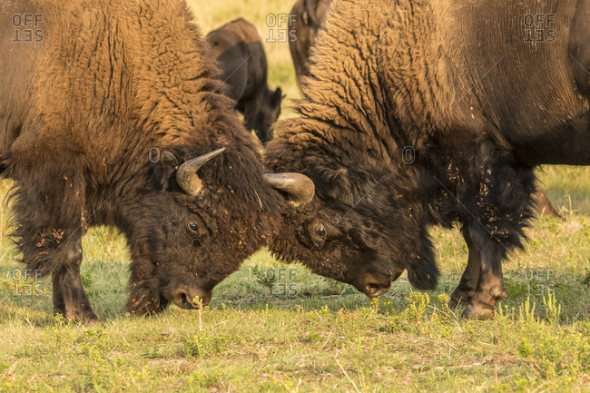 USA, South Dakota, Custer State Park. Bison bulls fighting.