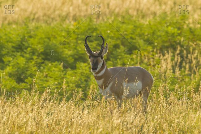 USA, South Dakota, Custer State Park. Pronghorn buck and backlit grass.