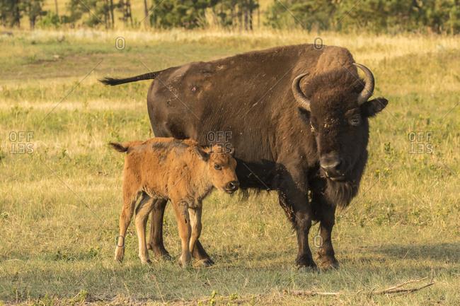 USA, South Dakota, Custer State Park. Bison cow and calf.