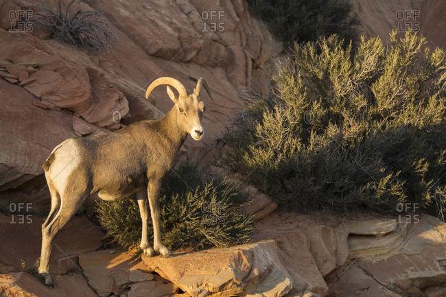 Utah. A female desert bighorn sheep stands on red rocks in late afternoon sunlight in Zion National Park.