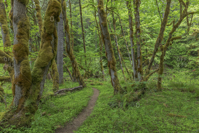 USA, Washington State, Gifford Pinchot National Forest. Trail and forest.