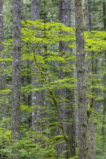 USA, Washington State, Gifford Pinchot National Forest. Vine maple and Douglas fir trees.