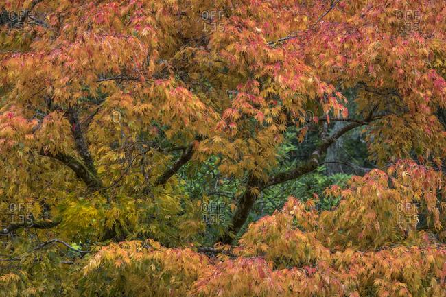 USA, Washington State, Bainbridge Island. Japanese maple tree in autumn.