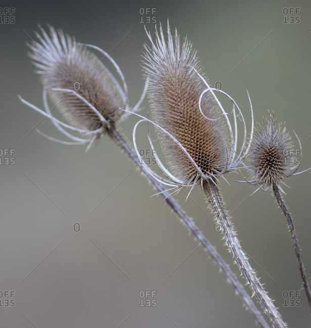 USA, Washington State, Palouse. Dried teasels