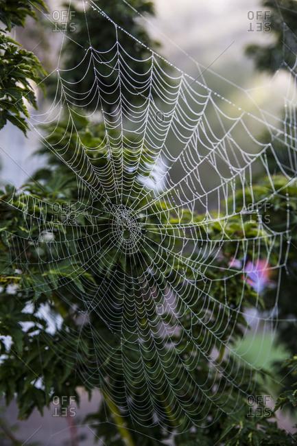 Bremerton, Washington State. Spider web maze hanging on a bush