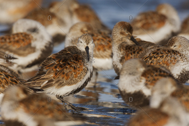 Dunlins resting During migration stop