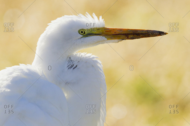 Great Egret, backlight silhouette
