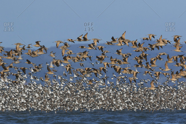 Migrating shorebirds