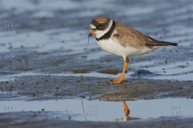 Semipalmated plover with potential meal