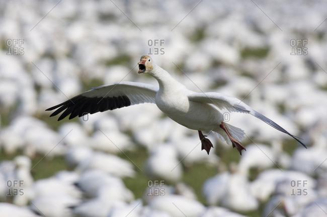 Snow goose alighting among large flock